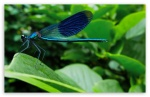 blue_dragonfly_6-t2
